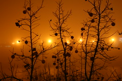 persimmons in the fog