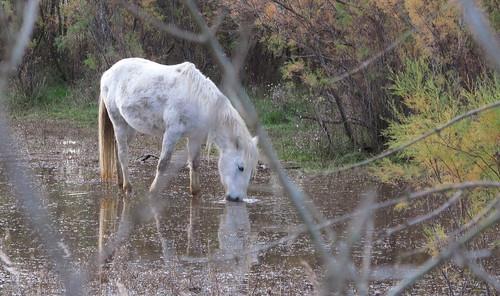 Cavall als Aiguamolls de l'Empordà