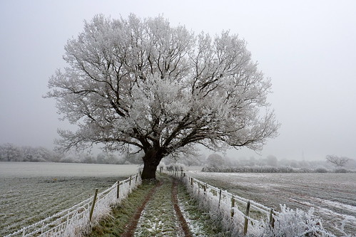 Frosty Oak Tree in Hallow Village, England