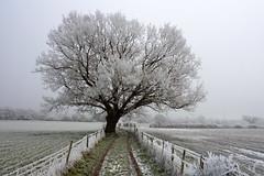 Frosty Oak Tree in Hallow Village, England