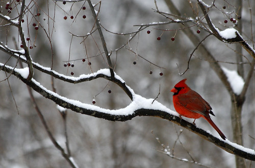 Northern Cardinal photo: Becky Gregory via Flickr Creative Commons