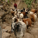 Nimble Herd of Goats - Annapurna Circuit, Nepal