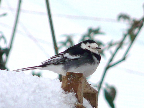 Wagtail in the snow