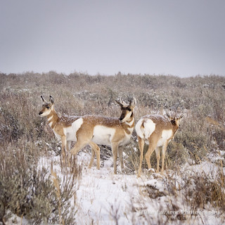 Pronghorn in Snow Storm