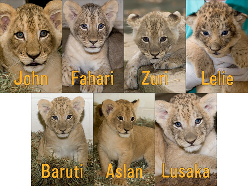 Lion cubs receive their names