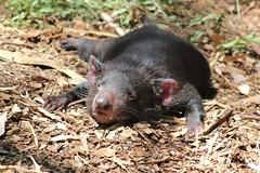 mink(0.0), animal(1.0), tasmanian devil(1.0), mammal(1.0), fauna(1.0), polecat(1.0), viverridae(1.0), wildlife(1.0),
