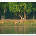 Spotted Deer of Sundarban