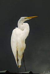 Great Egret Hero Pose