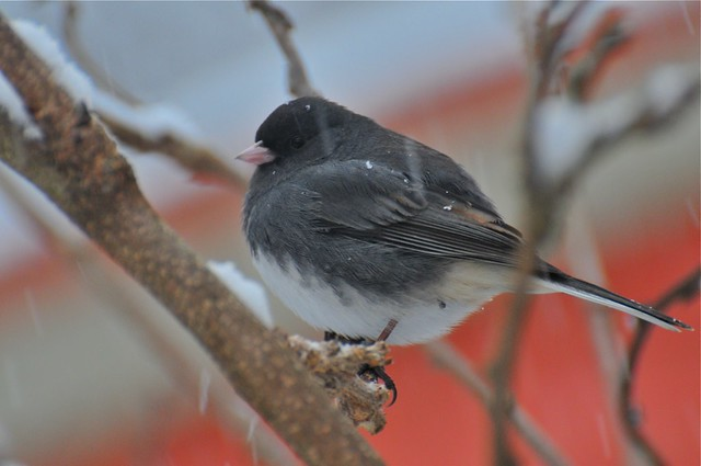 Dark-eyed Junco in snow  2
