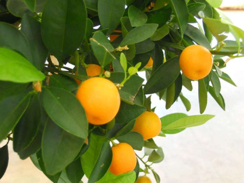 citrus mitis 3