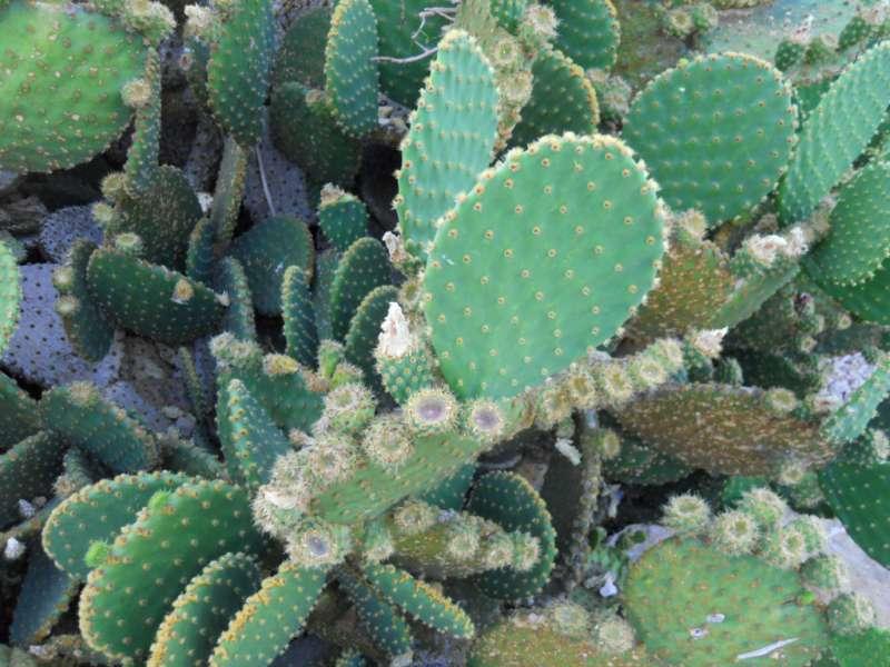 Opuntia microdasys 'Rufida' 2