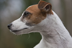 dog sports(0.0), animal sports(0.0), whippet(0.0), sports(0.0), italian greyhound(0.0), toy fox terrier(0.0), dog breed(1.0), animal(1.0), hound(1.0), dog(1.0), pet(1.0), parson russell terrier(1.0), close-up(1.0), russell terrier(1.0), carnivoran(1.0), jack russell terrier(1.0), terrier(1.0),