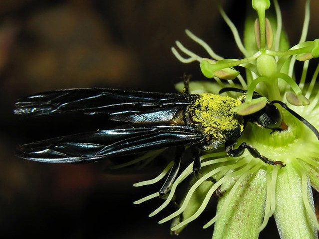 Vespidae, visitando Passiflora costaricensis Killip