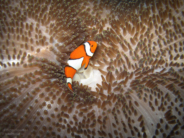 Clownfish on an Anemone Carpet