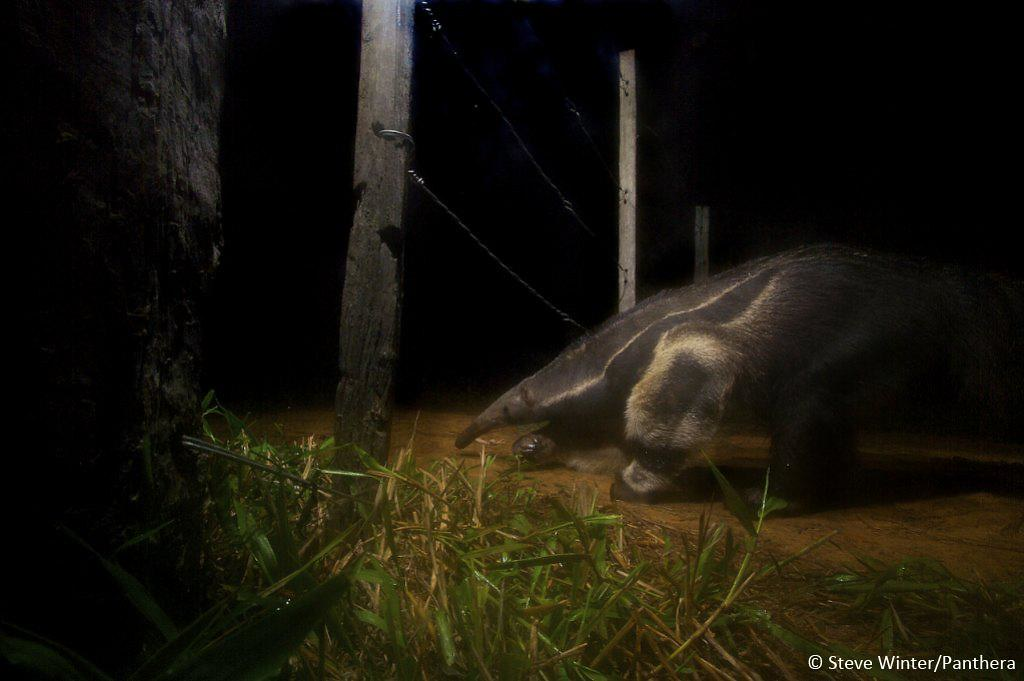 Camera trap image of a giant anteater