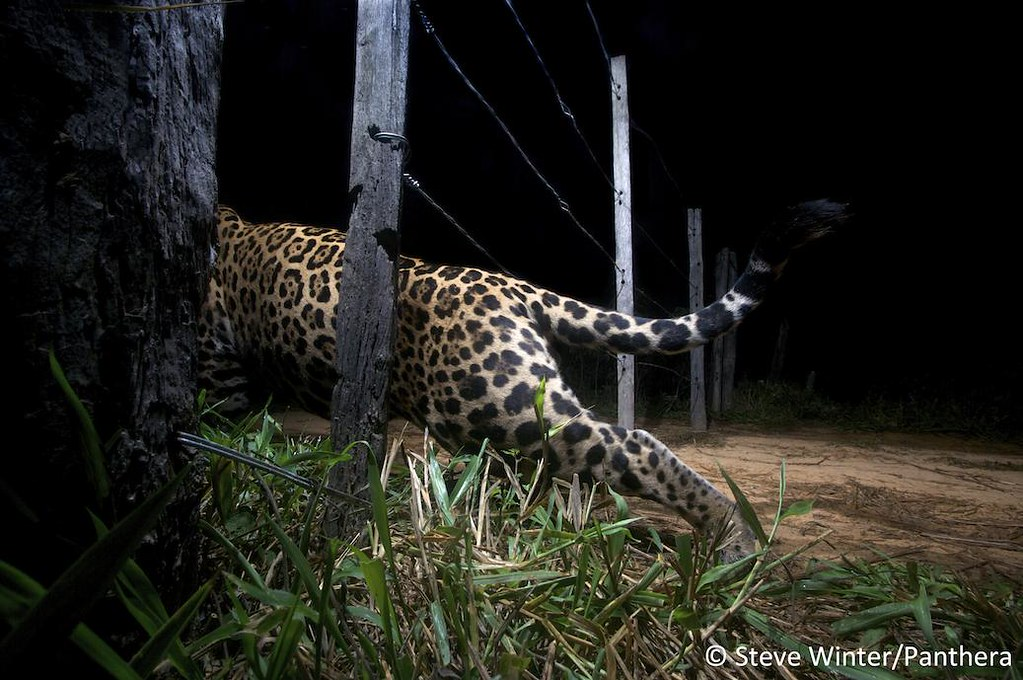 Camera trap image of a jaguar slipping through a fence