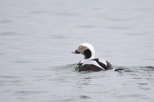 12_11_10 Long-tailed Duck ~ Nature 365 - Day 345