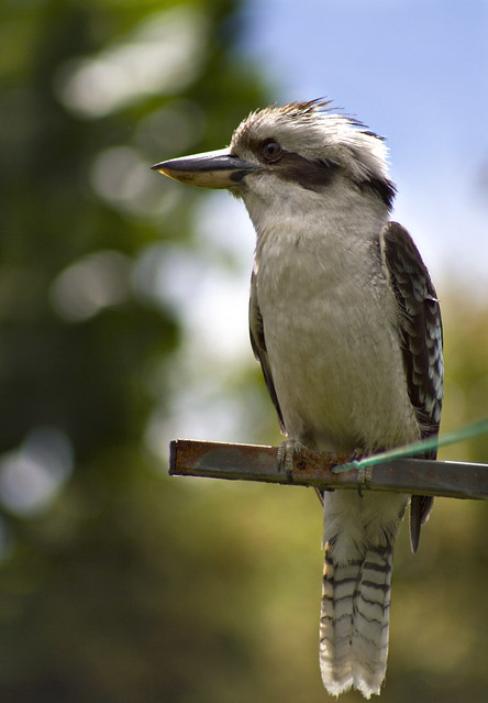 """Kookaburra on the line"" photo by: aussiegall"