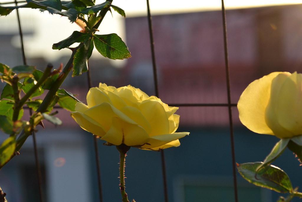 Fiori Gialli Rose.Fiori Gialli Denis De Rosa Flickr