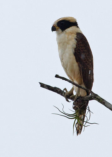 Laughing Falcon (Herpetotheres cachinnans) - Skrattfalk