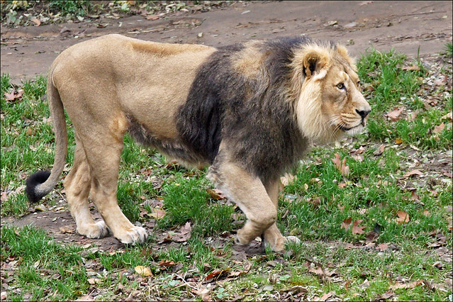 Asian lion tattoos