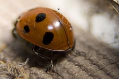 arthropod(1.0), scarabs(1.0), animal(1.0), ladybird(1.0), invertebrate(1.0), insect(1.0), macro photography(1.0), fauna(1.0), close-up(1.0), beetle(1.0),