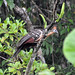 Small photo of Hoatzin