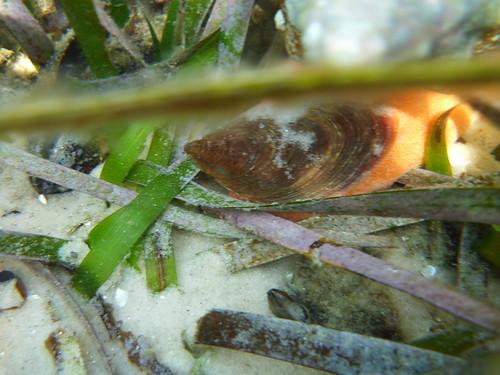 Horse conch operculum