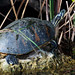Florida Red-bellied Cooter - Photo (c) Joseph Dsilva, some rights reserved (CC BY-NC-SA)