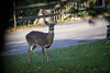Deer, Rosslyn Farms by bknabel