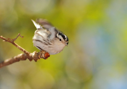 The Black and White Warbler Wiggle
