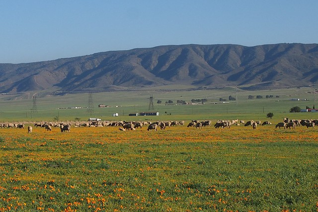 Sheep and Poppies