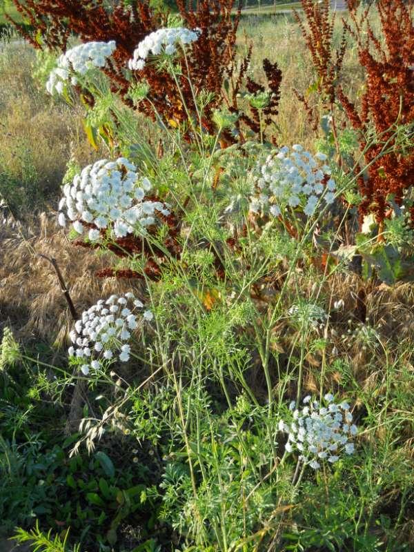 Achillea milefolium v 2