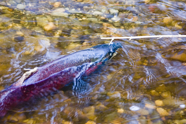 Coho salmon spawn in Coho Creek