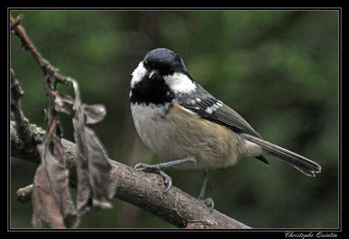 Mésange noire (Parus ater)