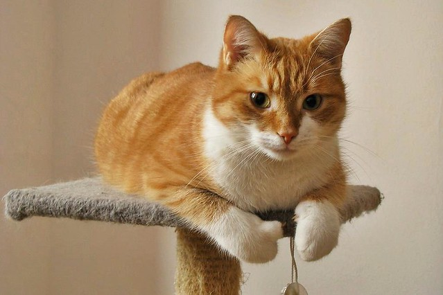 Orange Cats - a gallery on Flickr Pictures Of Cats