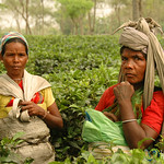 Working in a Tea Plantation - West Bengal, India