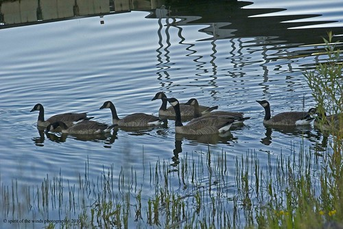 Of Geese & Reflections
