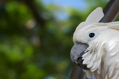 wing(0.0), cockatoo(1.0), animal(1.0), parrot(1.0), fauna(1.0), close-up(1.0), beak(1.0), bird(1.0), wildlife(1.0),