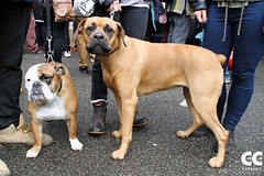 dog breed, animal, dog, pet, conformation show, carnivoran, boerboel,
