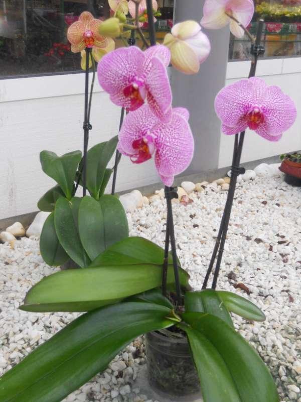 jardineros en acci n phalaenopsis h brido. Black Bedroom Furniture Sets. Home Design Ideas