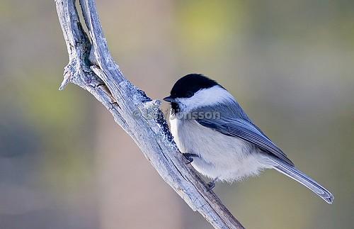 Talltita - Willow Tit - Parus montanus