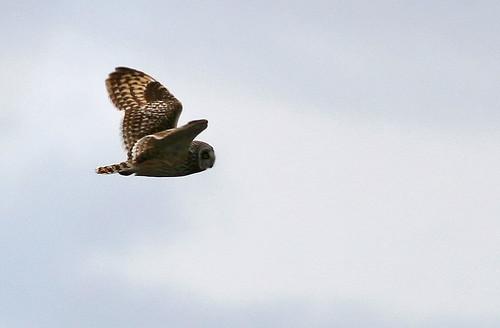 Asio flammeus Short-eared Owl Jorduggla