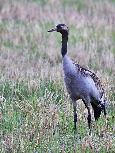 Grus grus Common Crane Trana