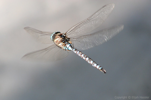 Dragonfly Hovering
