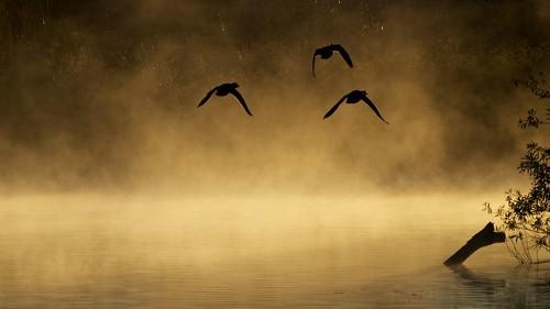 california usa mist bird la three duck losangeles olympus e3 70300mm zuiko 2010 zd manfrotto804rc2 sepulvedabasinwildlifereserve manfrotto190xprob aperture30