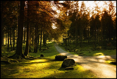A road through a pine forest
