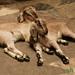A Little Baby Goat Love - Bakhtapur, Nepal