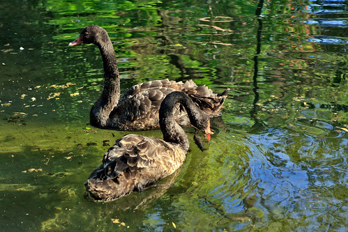 A couple of black swans swimming in a pond
