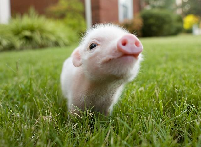 Worlds cutest piglet - photo#8